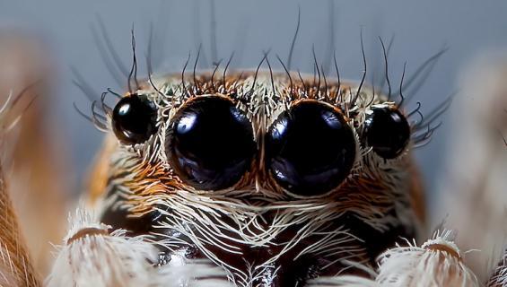 Tutkijat kouluttivat hyppyhämähäkin.