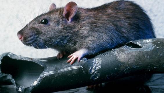 Rotta söi rahaa.