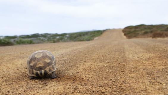 Kilpikonna pakeni poliisia.