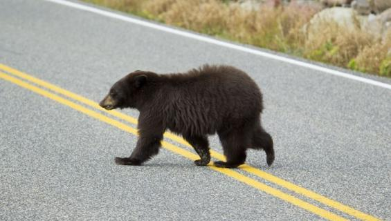 Karhu vaelsi Kaliforniassa.