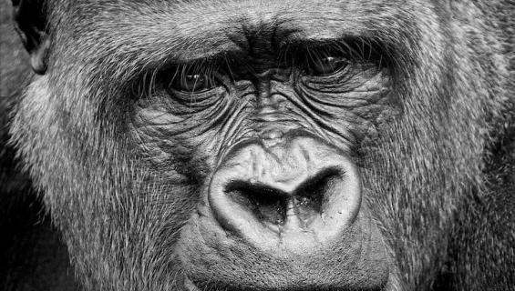 Gorillapukuinen voro pelotteli asukkaita Louisianassa.