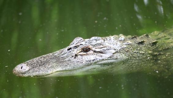 Vessasta huuhdotut huumeet voivat päätyä alligaattoreille.