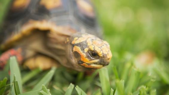 Pelastuskeskus auttaa kilpikonnia.