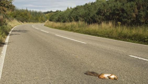 Auton alle jäänyt eläin