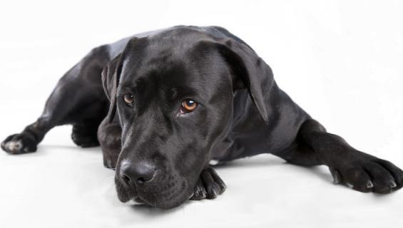 Koirakin voi sairastua masennukseen.