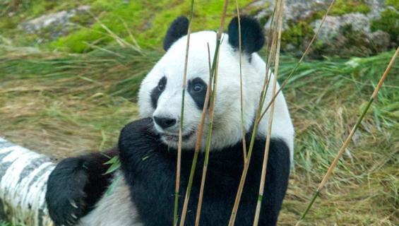 Ähtärin pandat syövät hurjan määrän bambua.