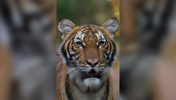 Kuva tiikeri Nadiasta, malesialinen New Yorkin Bronxin eläintarhasta. Julie Larsen Maher/Wildlife Conservation Society—AP