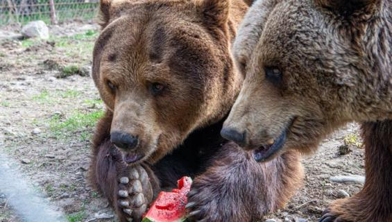 Juuso-karhu