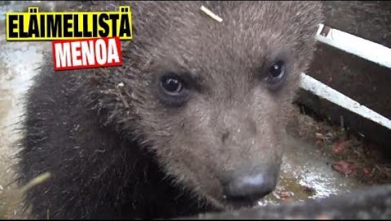 Aww, Juuso-karhusta tuli tuplaisä! Suloiset pennut sulattavat kaikkien sydämet – katso video!