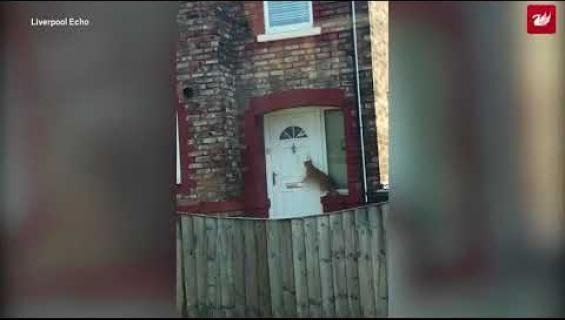 Tässä on kissa, joka osaa koputtaa ovea tahtoessaan sisään - uskomaton video!