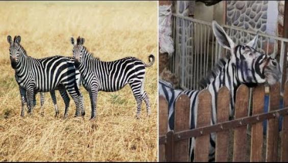 Eläintarha maalasi aaseille raidat huijatakseen kävijöitä - video!