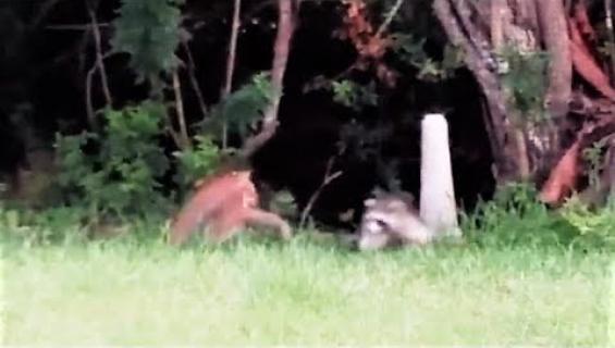 Päivän eläinvideo: Reviiritietoinen pesukarhu ajoi punailveksen tiehensä!