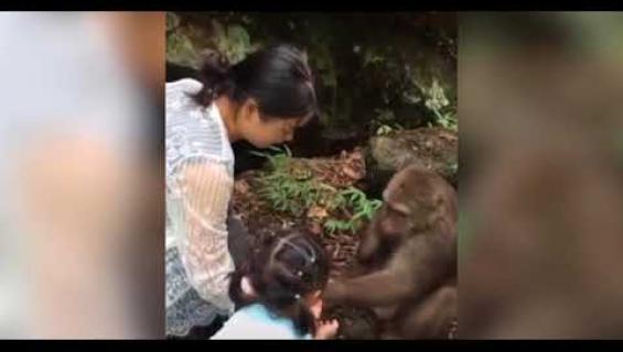 Apina löi pikkutyttöä naamaan - sokeeraava video leviää verkossa!