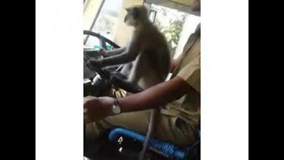 Linja-auton kuljettaja hyllytettiin työstään, koska hän antoi apinan ajaa bussia!