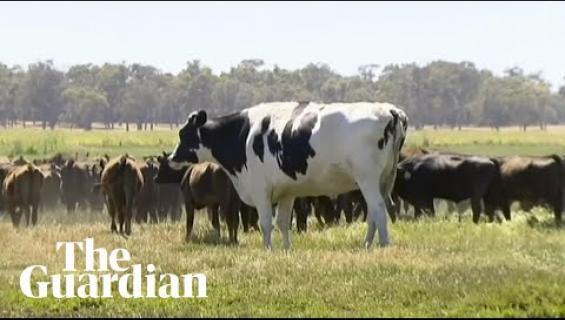 """Liian iso sonni säästyy teurastamolta! """"Knickers"""" painaa 1400 kiloa - katso video valtavasta eläimestä!"""