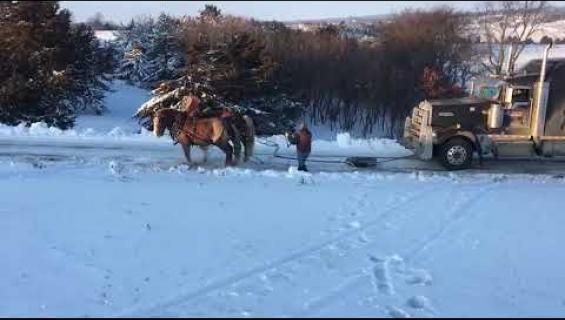 Montako hevosvoimaa? Hevoset vetivät puoliperävaunua - katso video!