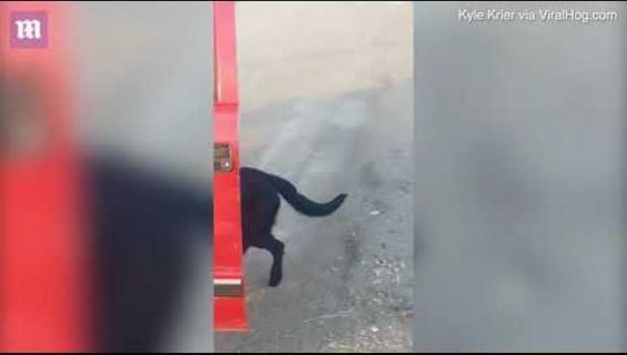 Kateissa ollut Bo-koira palasi kotiin, toisen koiran ja vuohen kanssa - video!