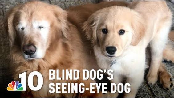 Iäkäs kultainennoutaja sokeutui - isäntäperhe hankki avuksi opaskoiran!