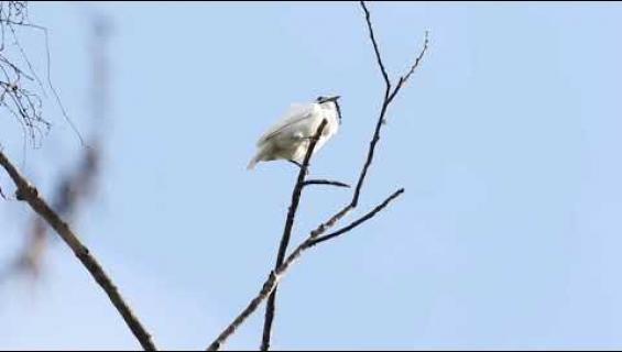 Kuuroutumisvaara! Maailman kovaäänisin lintu voi särkeä korvasi!