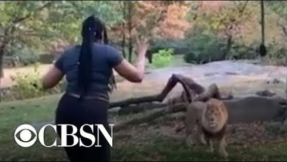 Elämäänsä kyllästynyt? Nainen kiipesi leijonan aitaukseen Bronxin eläintarhassa - video!
