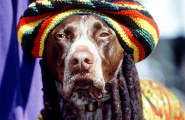 Tutkimuksen mukaan koirat pitävät reggae-musiikista.