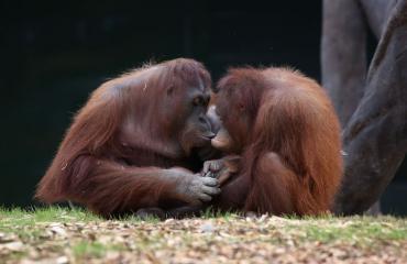 Orangit voivat nyt pariutua Tinder-tyyppisen sovelluksen avulla.