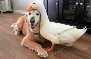 Koira ja ankka läheisissä tunnelmissa
