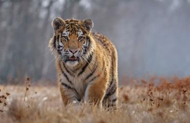 Tiikeri uhanalaiset lajit