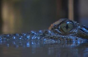 Krokotiili hotkaisi miehen kitaansa.
