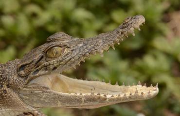 Krokotiili pääsi naimisiin pormestarin kanssa.