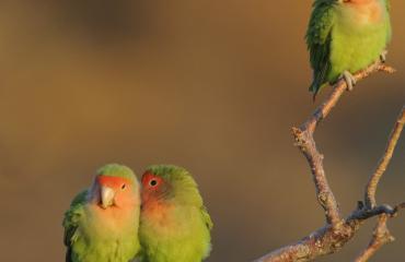 Samasta sairaudesta kärsivät linnut löysivät toisensa.