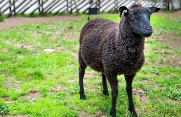 Tuutikki-Lammas aitauksssaan
