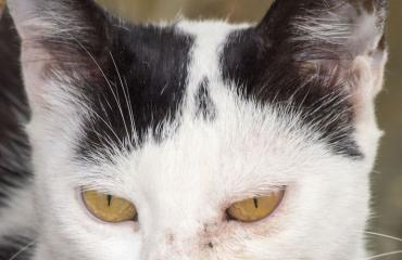 Kissaa epäillään murhan yrityksestä.