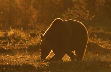 Karhu varasti aseita Venäjällä.