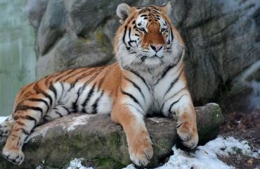 Tiikeri raateli turistin.