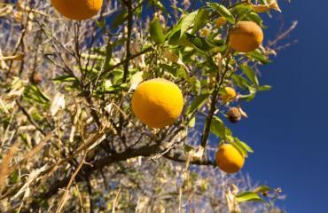 Appelsiinit kiinnostavat tutkijoita.