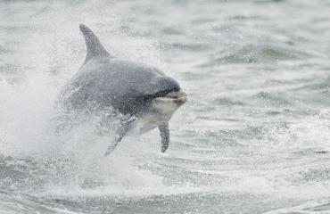 Delfiini kaipaa ihmisseuraa.