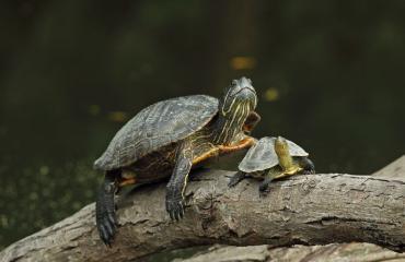 Naisen sisältä löytyi kuollut kilpikonna.