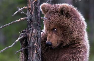 Karhu romutti metsästäjien auton!