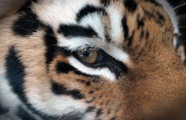 Tiikeri houkuteltiin ansaan.