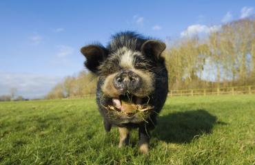 Oreo-keksit houkuttelivat sian kotiin.