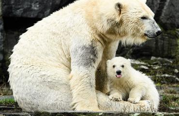 Jääkarhunpentu Berliinin eläintarhassa