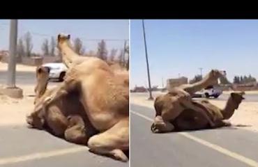 Video: Parittelevat kamelit aiheuttivat liikenneruuhkan - autoilijat hätää kärsimässä!
