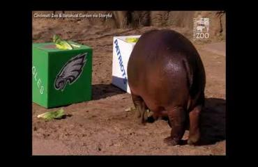 Fiona-virtahepo ennusti Super Bowlin lopputuloksen! Katso video!
