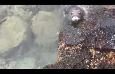 Veistä heiluttava hylje säikytteli ihmisiä Havaijilla - katso video!