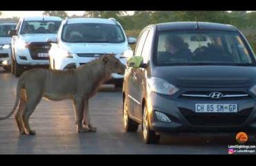 Nälkäinen leijona yritti autoon kansallispuistossa - dramaattinen video!