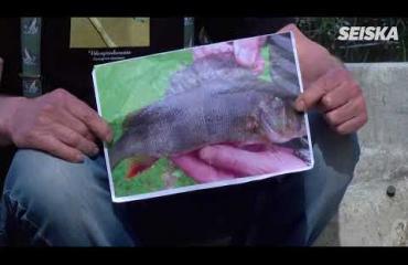 """""""Kesästä tulossa todella lämmin ja kaunis!"""" Ahvenprofessori Matti Paasonen ennustaa sään kalan selkäevästä – katso video!"""