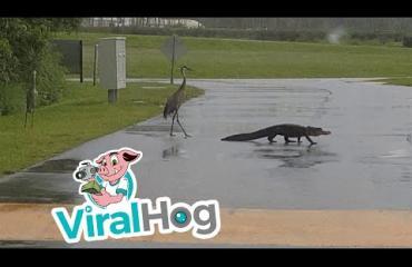 Kurki ja alligaattori ottivat toisistaan mittaa - kumpi jänisti ensin? Katso video!