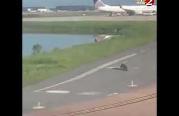 Alligaattori viivästytti lentoa - päätti tehdä aamulenkin kiitoradalla! Katso video!