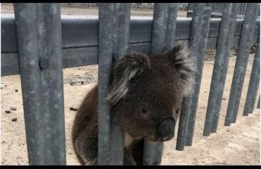Vahinkoaltis koala pelastettiin jälleen kiipelistä - hellyttävä video!
